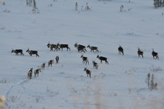 Troupeau Caribous Steese Highway